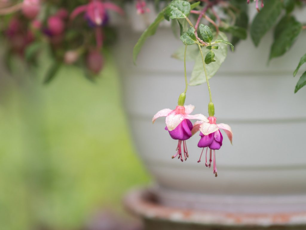 two purple flowers dangling down the side of a planter