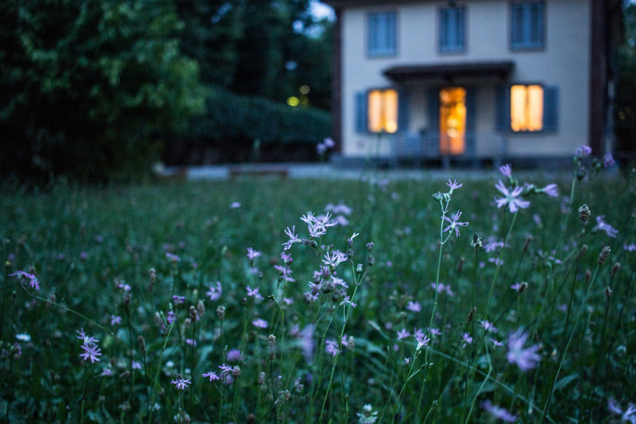 blurred home in the background of a lawn with lilac wildflowers growing